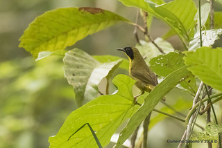 Geothlypis semiflava / Olive-crowned Yellowthroat | by Gmo_CR