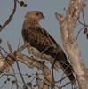 Whistling Kite (Haliastur sphenurus).01 by Geoff Whalan