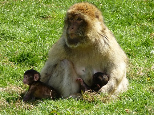 Barbary Macaque (04/05/2015)