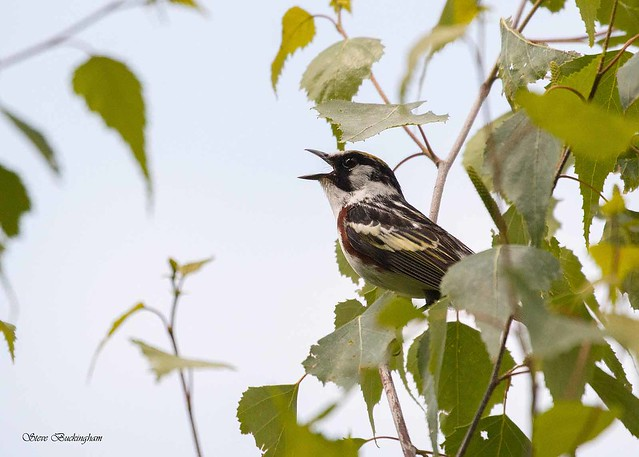 Chestnut-sided Warbler on territory