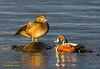 Straumönd – Harlequin Duck – Histrionicus histrionicus by raudkollur