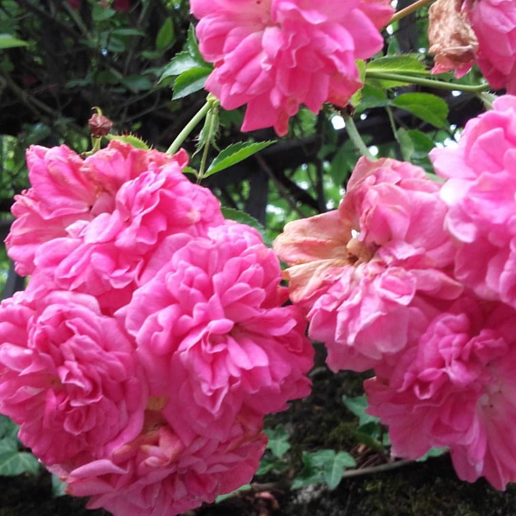 Fiori Tipo Rose.Rosa Color Rosa Che Tipo Di Varieta Non Lo So Rose C Flickr