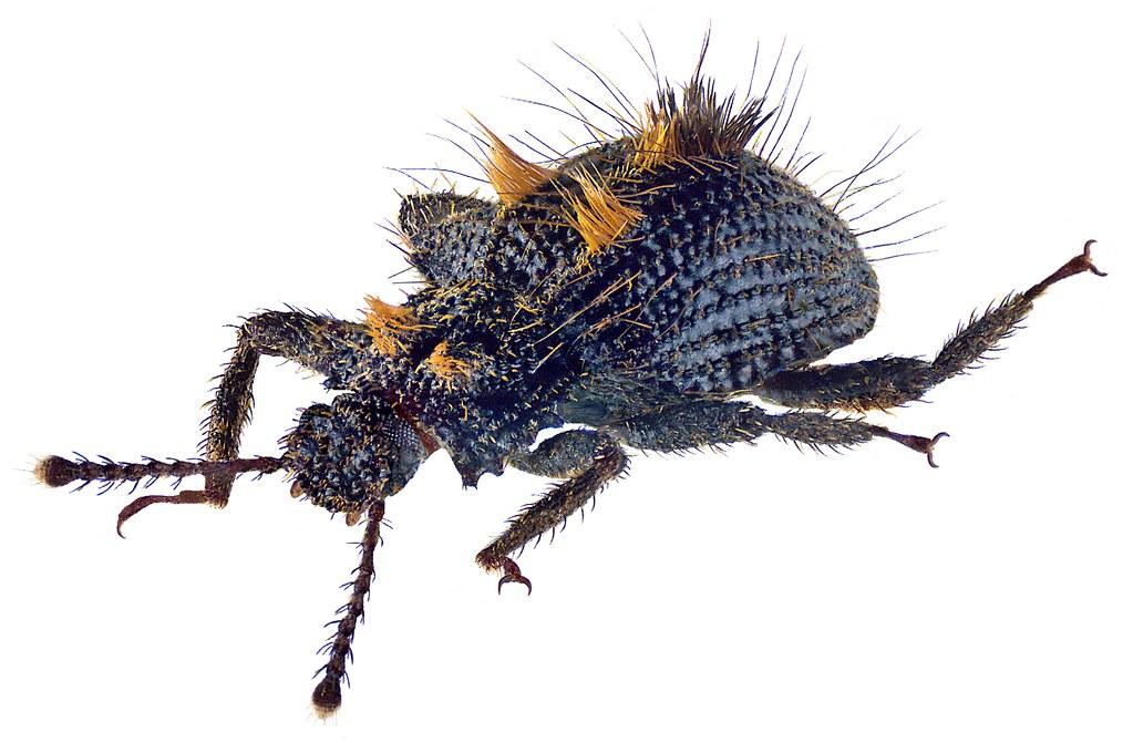 Hyberis fasciculatus Grouvelle, 1897
