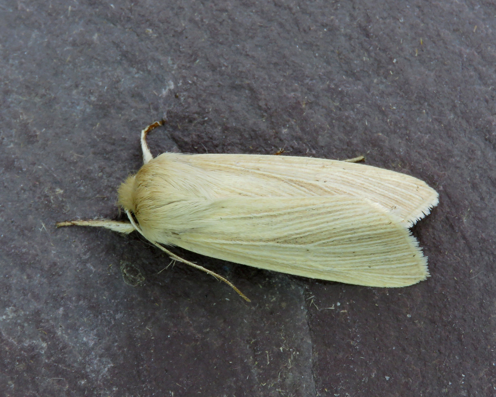 73.291 Common Wainscot - Mythimna pallens