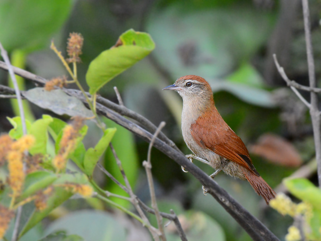 Arredio-do-rio // Rusty-backed Spinetail