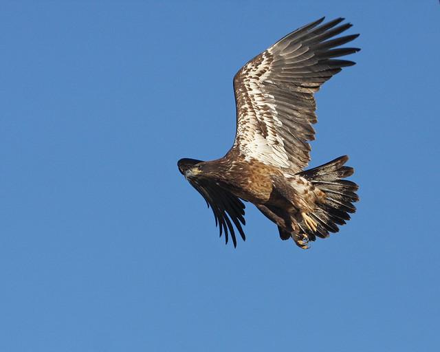 Bald Eagle 3113