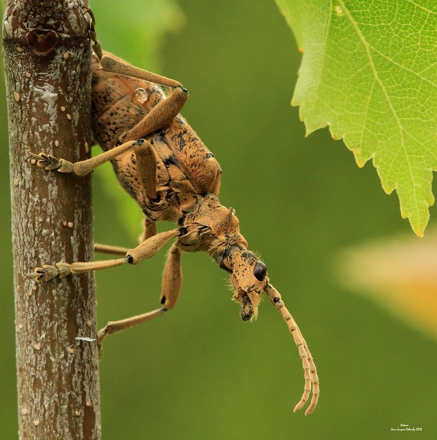 La Rhagie mordante coléoptère