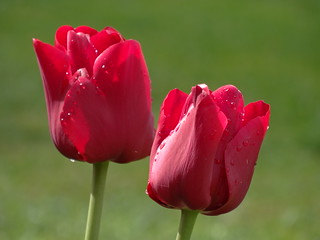 Tulipes-Morges
