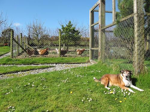 ireland irish dog pet chickens grass fence candy cork bluesky newmarket canong11