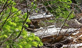 pups-in-log_stephenson_usfws | by Oregon Department of Fish & Wildlife