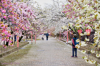 Hanami: Cherry blossom viewing through the Tunnel | by Tatters ✾