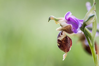 Ophrys heldreichii | by macropoulos