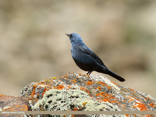 Blue Rock Thrush (Monticola solitarius) | by gilgit2