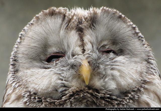 Owl, Germany