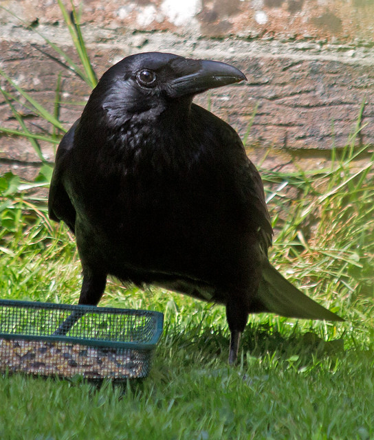 Crow - we call him Russell