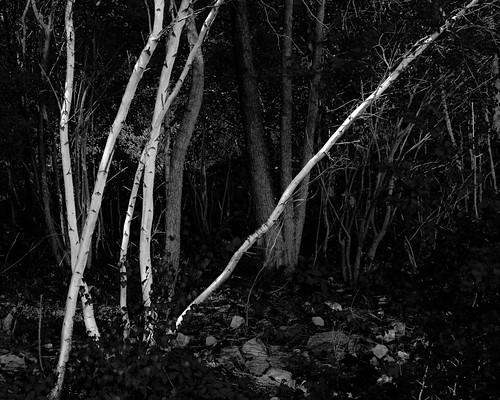 trees bw beach nature landscape us newjersey woods unitedstates birch keyport