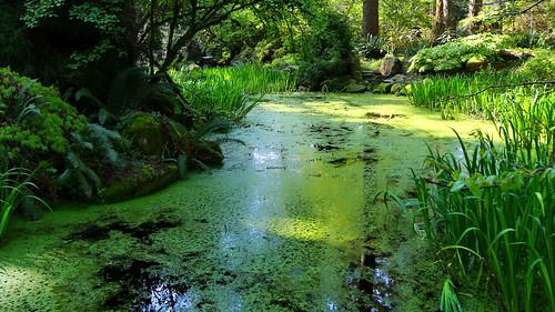 pond azolla odc waterfern rhododendronspeciesfoundationandbotanicalgarden