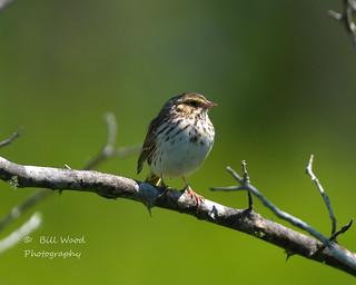 savannah sparrow-1956