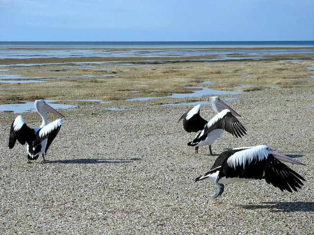 Australian Pelicans - Pelecanus conspicillatus - Stansbury