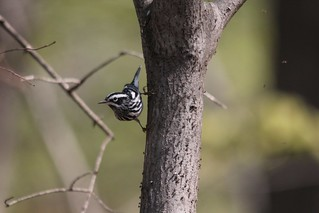Black-and-white Warbler | by Birding In New Jersey