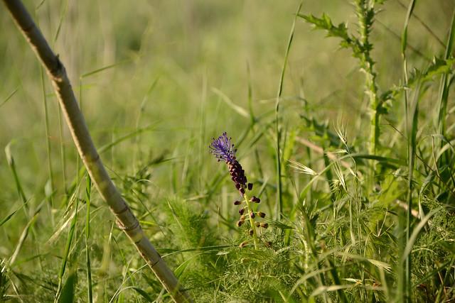 Leopoldia comosa (= Muscari comosum) - ail à toupet 17320625871_a79848c9d3_z