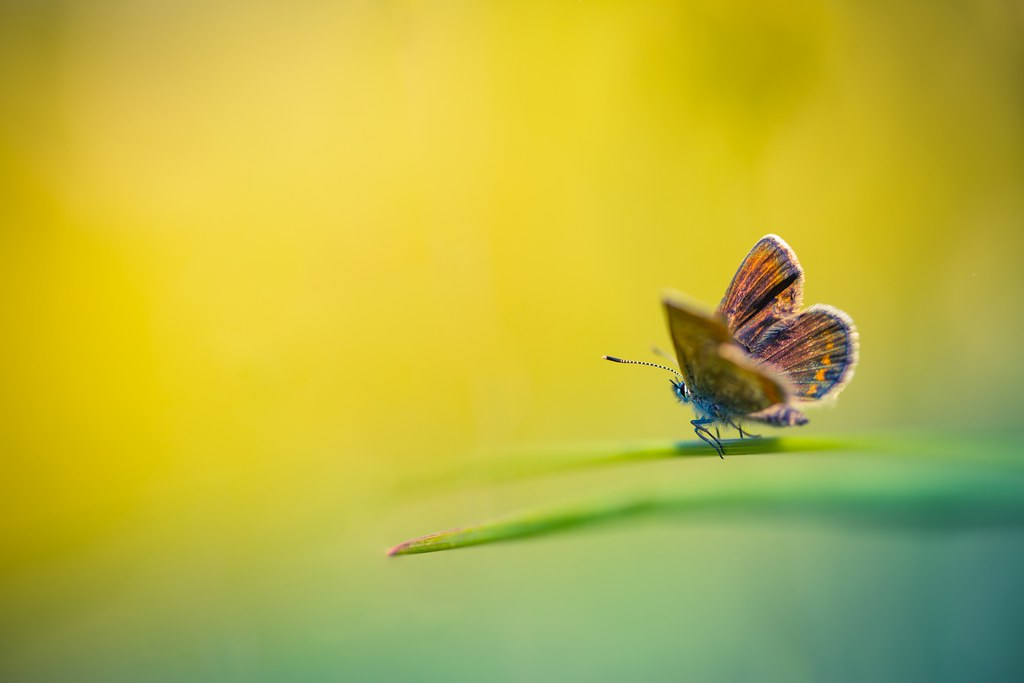 Full Moon Butterfly