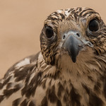 Falcon looking the photographer