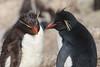 Pingüinos de Penacho Amarillo by ik_kil