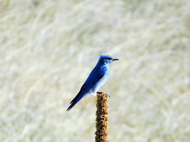 Blue Jay Imitation