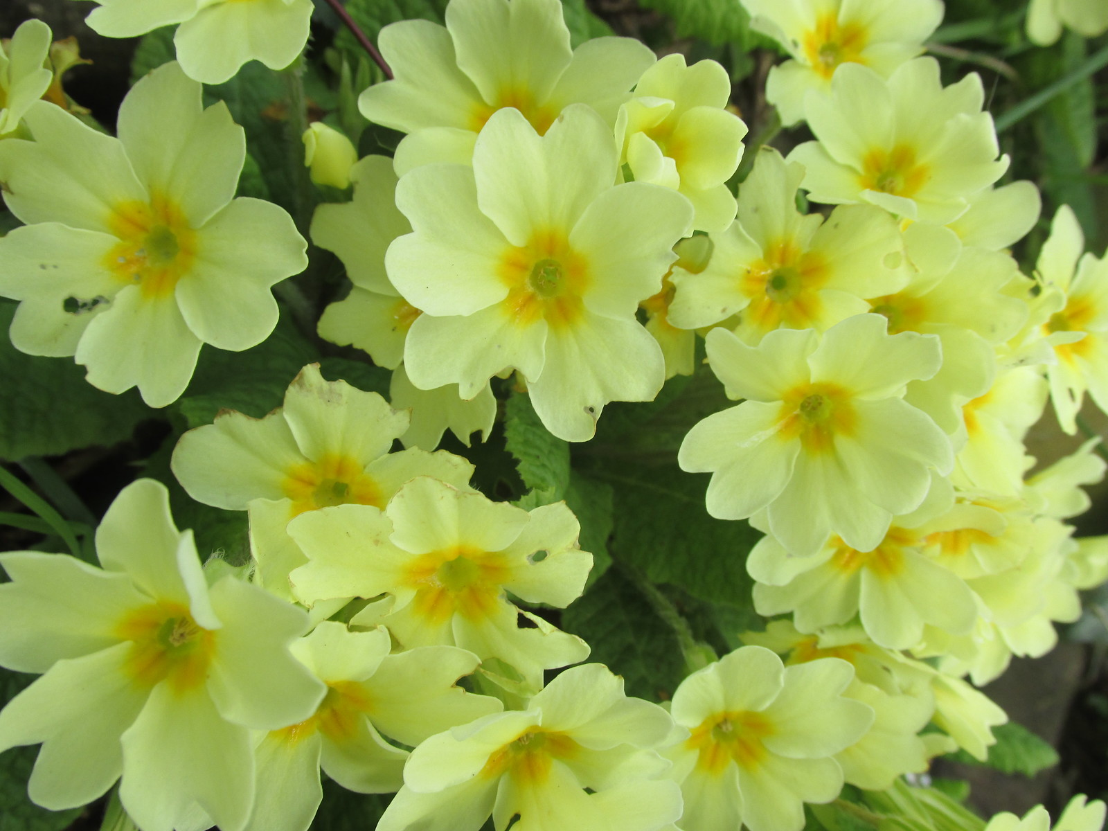 April 6, 2015: Glynde to Seaford South Downs primroses