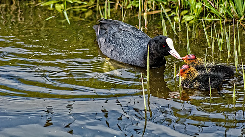 Coot Feeding Time