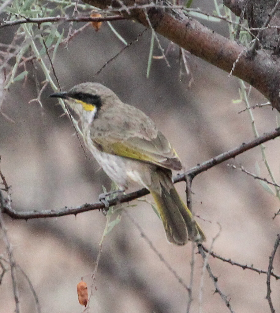 Gavicalis virescens (Singing Honeyeater)