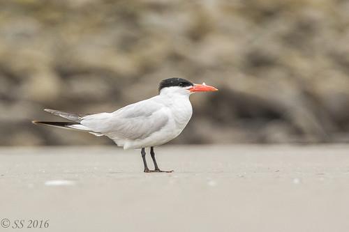 Caspian Tern | by Scrumhalf