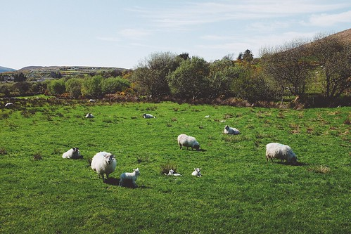 113/365 Irish Sheep | by marcwiegelmann