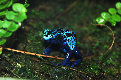 Blue Poison Dart Frog, Victoria Butterfly Gardens, Brentwood Bay, Vancouver Island, British Columbia