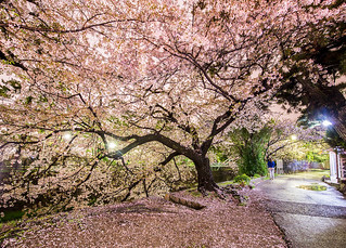 Sakura Tree along Shukugawa River | by Chea Phal