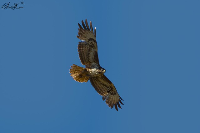 Águia de asa redonda, Eurasian Buzzard (Buteo buteo) - em Liberdade [in wild]