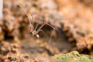 Daddy-long-legs spider (Holocneminus multiguttatus) - DSC_8878