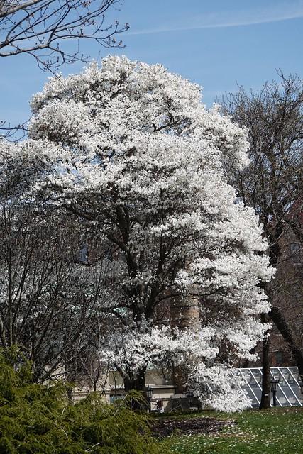 木, 2015-04-16 13:51 - Brooklyn Botanic Garden