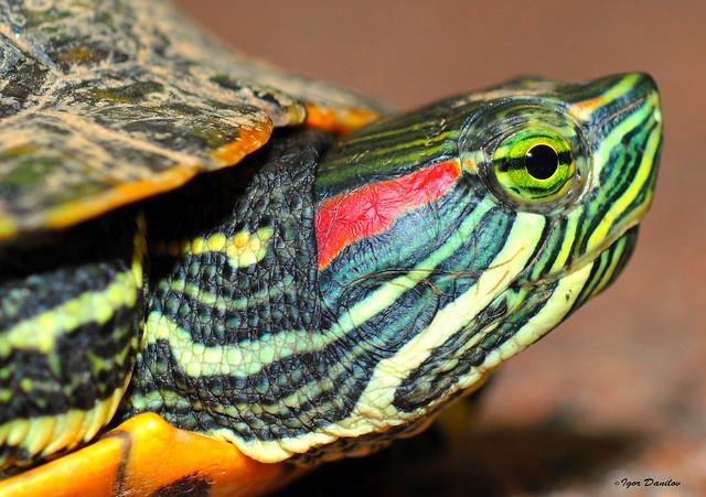 Red-eared slider - Красноухая пресноводная черепаха