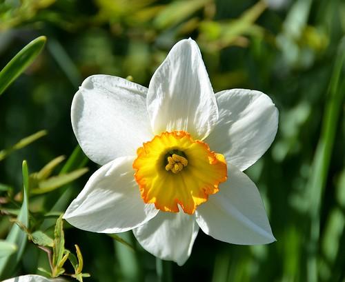 Jardins de Valloires (Somme) - Printemps - Narcisse