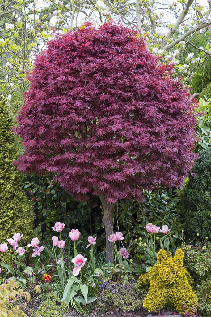 Acer Palmatum Skeeters Broom In Spring The Pink Tulips Flickr
