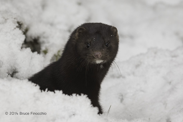 Mink Pops Out Of A Snow Hole