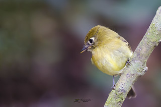 Yellowish Flycatcher (Empidonax flavescens) | by mckoy0188