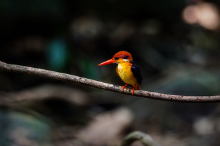 Black-backed Kingfisher (Oriental Dwarf-kingfisher) | by arnewuensche66