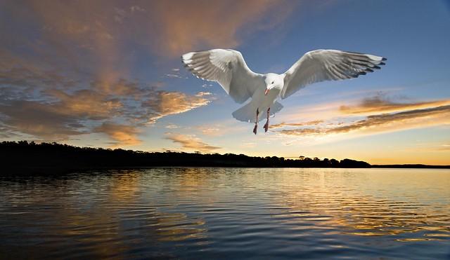 Lone Dawn Seagull . Original exclusive photo art.