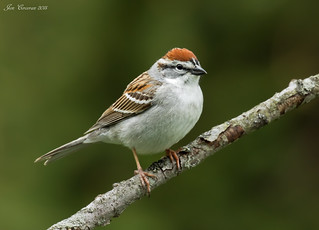 Chipping Sparrow (Breeding Adult) | by Jon Cormorant