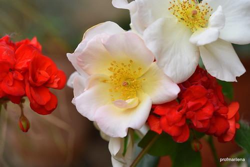 DSC_0730-001 survival solidarity between flowers during a storm, read below