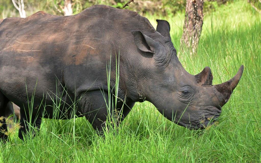 Southern White Rhino, Uganda