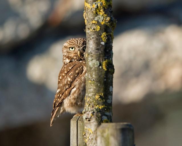 Little Owl, (male), Athene noctua, Granta Park, Great Abington, Cambridgeshire, UK